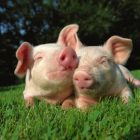 Two pigs lying on the grass.